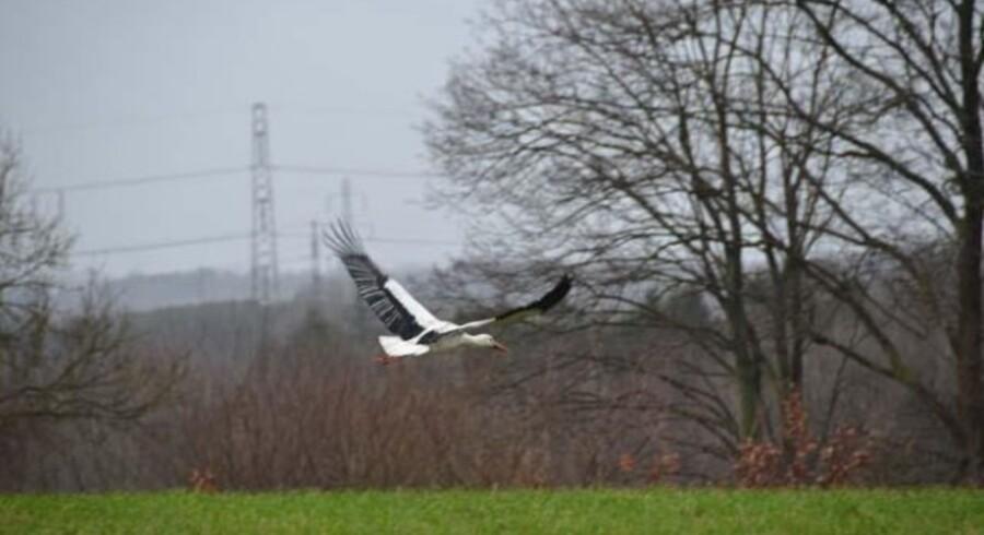 Den svenske stork Oskar, der sidst år overvintrede ved Stærkende nord for Roskilde, er i eftermiddag fotograferet ved Veksø Sj, godt 10 kilometer længere mod nord. (Foto: Anders Böye, www.ppinfo.dk)