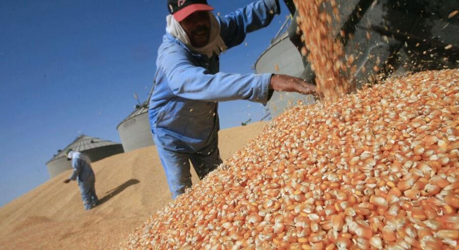Arkivfoto: I 2008 høstede Egypten sin første genmodificerede majshøst.