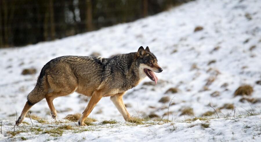 Siden man i 2012 fandt en død ulv i Thy Nationalpark, er der flere steder i Jylland meldt om observationer af ulve og om dyr, der menes dræbt af ulve. Scanpix/Lars Rasborg