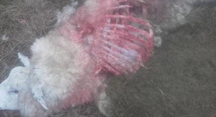 En fårehyrde har mandag fundet dette får, som han mistænker er blevet offer for et angreb af en ulv. Free/Lammeproducenten Storålam