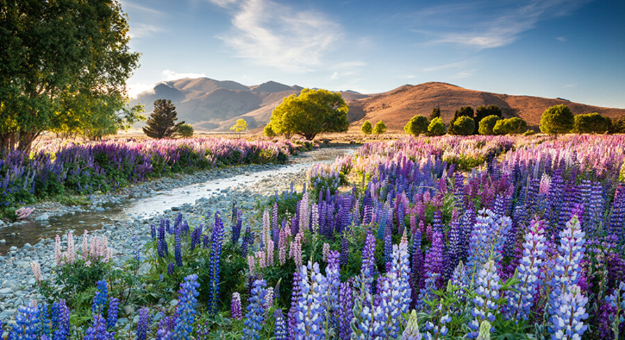 Richard Bloom vandt prisen »International Garden Photographer of the Year 2016« med billedet af lupiner ved Tekaposøen på New Zealands sydlige ø.