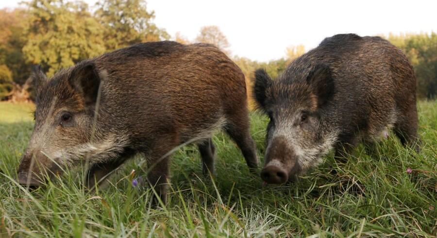 For at beskytte landbruget fra en potentiel risiko vil regeringen af med de danske vildsvin og bygge et hegn langs grænsen.