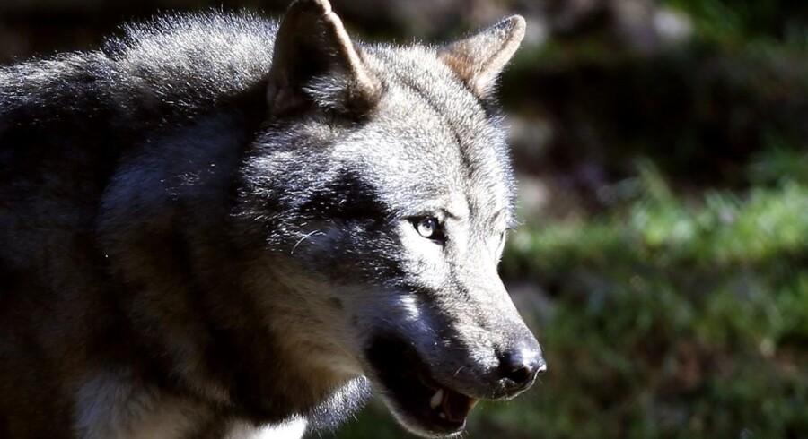 ARKIVFOTO 2012 af ulv i Frankrig