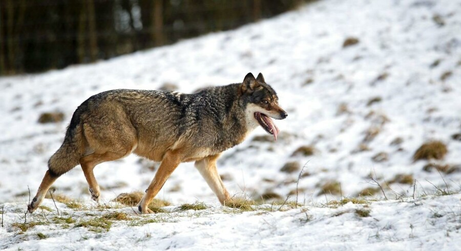 Ulven skaber utryghed og bør forvises fra den danske natur, lyder det fra ny forening, som stiftes mandag.