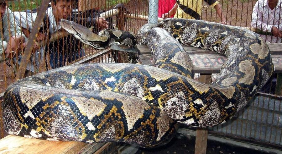 Det var en indonesisk python-slange som denne, der slugte en 25 årig mand med tøj og støvler.