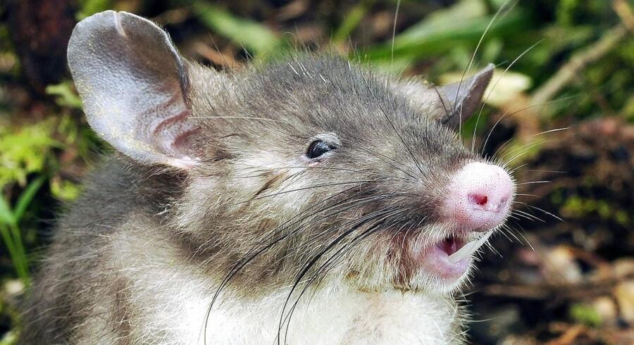 Der findes ingen billeder af den nyopdagede megarotte i hel tilstand. Men her kan man se den også nyopdagede svinenæsede rotte fra Indonesien.