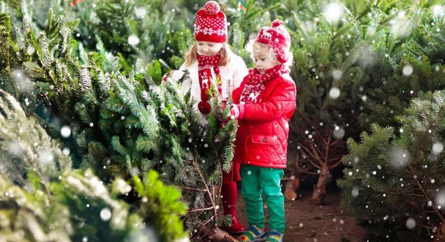 Norske juletræer er i høj kurs i udlandet - så nordmændene må importere 400.000 danske træer i år. Arkivfoto: Iris/Scanpix