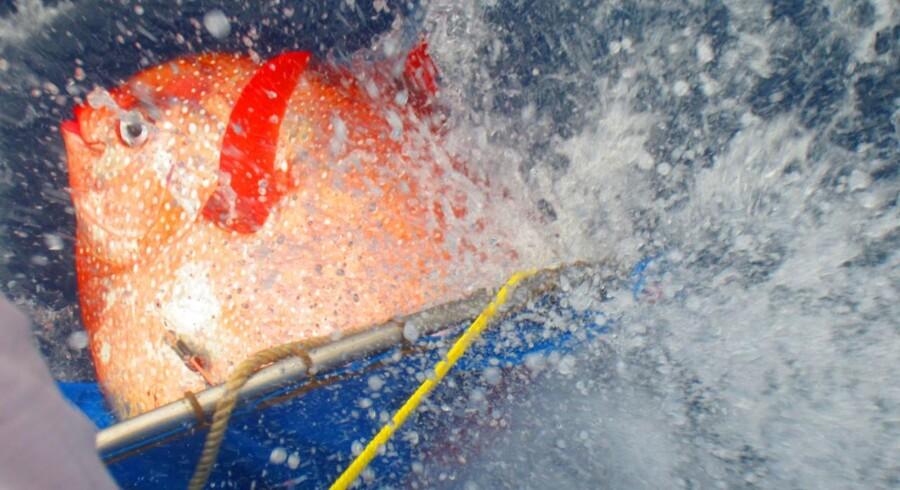 Den dybhavslevende glansfisk er en ganske særlig fisk, har forskere nu fundet ud af.