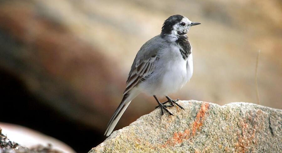 Hvid Vipstjert ( Motacilla alba ) sidder og pudser sig på en sten ved Øresund i Rungsted.