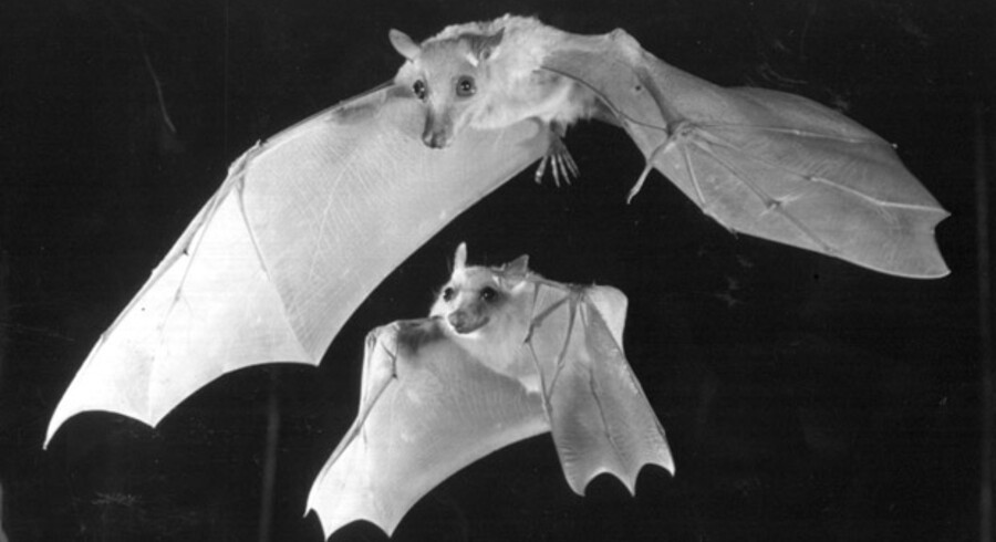 Arkivfoto. To flagermus fanget i luften af kamera med nattesyn.
