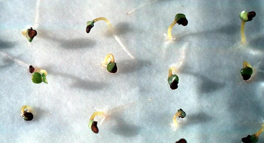 Det europæiske fødevaresikkerhedsagentur har sporet de bukkehornspirer, som er kilde til VTEC-bakterien, tilbage til Egypten. Her er det ufarlige spirer af ærteblomster. ARKIVFOTO.