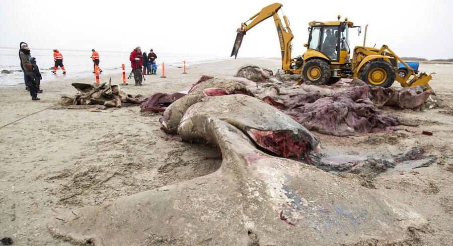 Den strandede kaskelothval ved Fanø skæres op fredag d. 13 februar 2015.