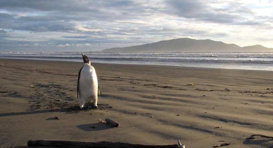 Der er rigtigt langt hjem for den strandede kejserpingvin, som har det fint efter de 3.000 kilometers rejse. Foto: Richard Gill, AFP/Scanpix