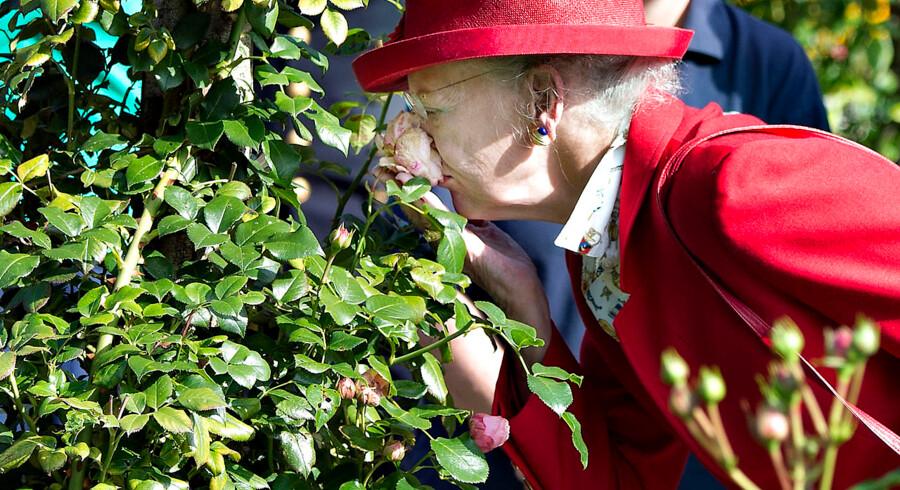HKH Dronning Margrethe i nærkontakt med en rose i Den Jyske Rosenpark i Ålestrup, som hun besøgte under Regentparrets sommertogt i september.