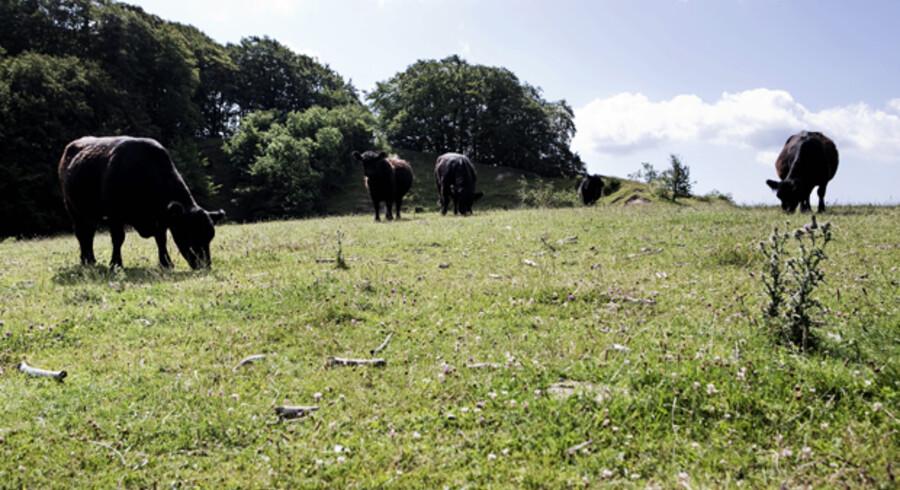 Fredeligt Galloway-kvæg sørger sammen med geder for at pleje overdrevet og gøre det orkidéegnet.