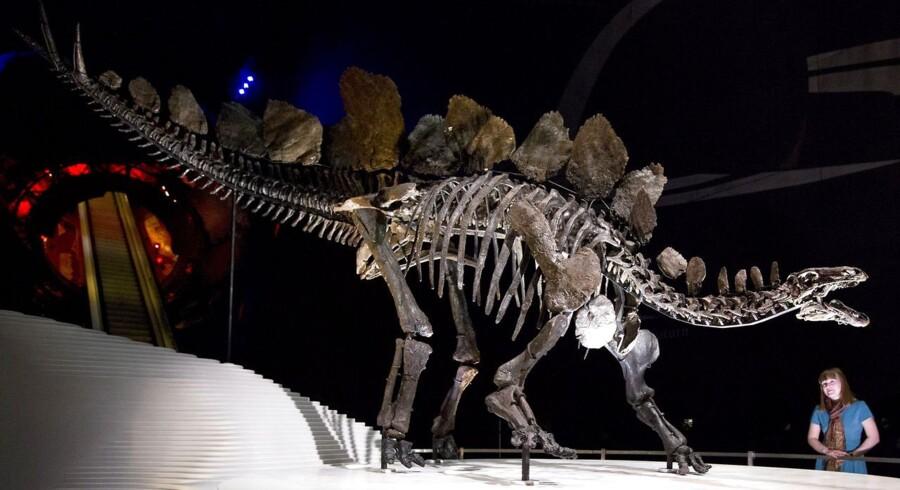 På trods af sin imponerende størrelse hører stegosaurus til de planteædende dinosaurer og bliver især kendetegnet ved deres store pigge på ryg og hale.