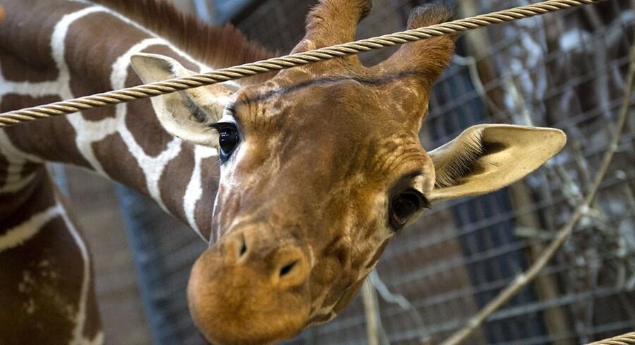 Giraffen Marius