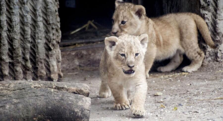 ARKIVFOTO. Københavns Zoo har aflivet fire hunløver for at gøre plads til en ny hanløve. To af løverne var små unger. Billedet viser to andre løveunger i zoo.