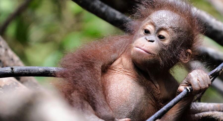 Siden 1999 er der forsvundet mere end 100.000 af de truede orangutanger fra Borneo.