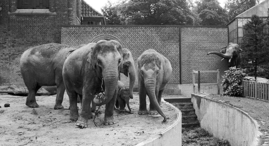 Han-elefanten Chieng Mai kom til Zoo i 1962. Onsdag var det slut, da Zoo aflivede ham grundet alderdom.