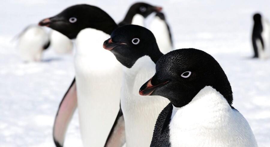 Det er adeliepingviner, som er en art, der er lidt mindre end kejser- og kongepingvinerne. Adeliepingvinerne er også langt mere livlige.