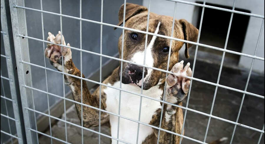 (ARKIV) Staffordshire terrier også kaldet Amstaff og muskelhund. Højesteret indledte tirsdag den 31 oktober 2017 en sag om aflivning af to hunde, der menes at være af en ulovlig hunderace. Ejerne fastholder, at hundene er lovlige i Danmark PLUS. (Foto: Liselotte Sabroe/Scanpix 2017)