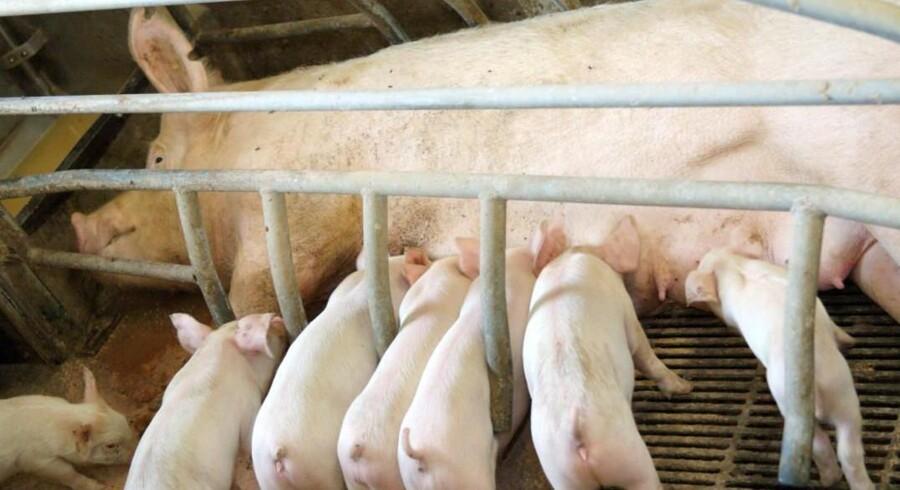 97 procent af grisene får halerne kuperet efter fødslen. Det kan koste Danmark en sag ved EU-Domstolen. Fødevareministeren varsler skrappere kontrol, men erhvervet finder det overflødigt. Der er endnu ikke et bedre alternativ til kupering, lyder det. Free/Colourbox/arkiv