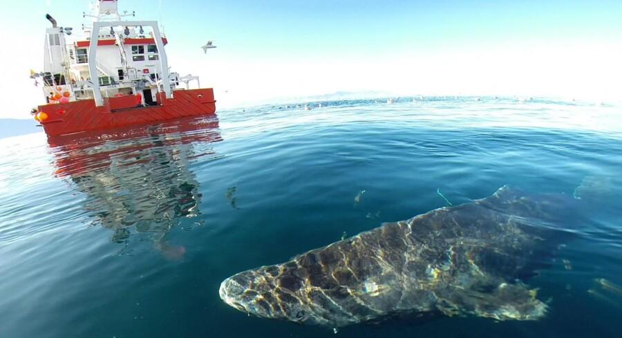 Grønlandshajen er ikke bare en af havets kæmper, den er også et af de dyr på kloden, der bliver allerældst, viser overraskende ny dansk forskning.