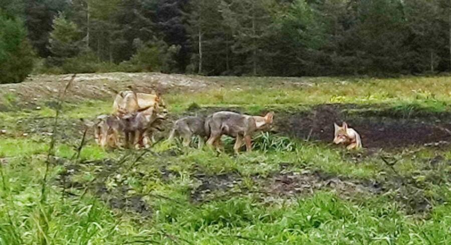 Et vildtkamera ved Ulfborg i Vestjylland har fanget ulvefamilien med nu seks unger. Nye billeder af Danmarks foreløbigt eneste ulvekobbel med mindst seks hastigt voksende ulveunger cementerer, at vilde ulve nu er og bliver en varig realitet i den danske natur.