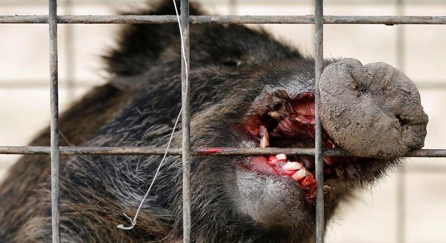 Tre IS-jihadister er angiveligt blevet dræbt af en flok vildsvin i Irak. På billedet ses et vildsvin, der blev evakueret fra et beboet område i Tokyo, Japan. 28, februar 2017. REUTERS/Toru Hanai