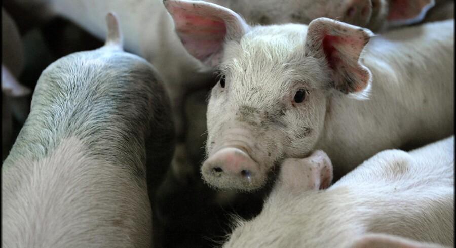 I sidste uge viste en screening, at MRSA forekommer i 88 procent af de danske svinebesætninger (arkivfoto). Scanpix/Henning Bagger