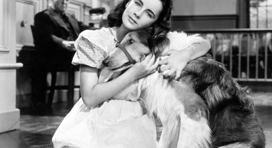 Barnestjernen Elizabeth Taylor med Lassie.