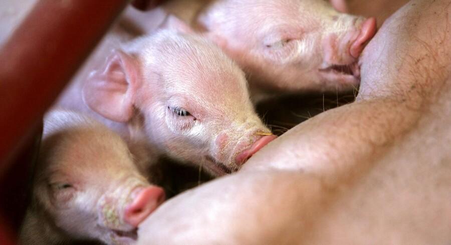 MRSA-bakterien har spredt sig fra at være et problem i svinestaldene til at give store problemer hos mennesker. Arkivfoto: Scanpix