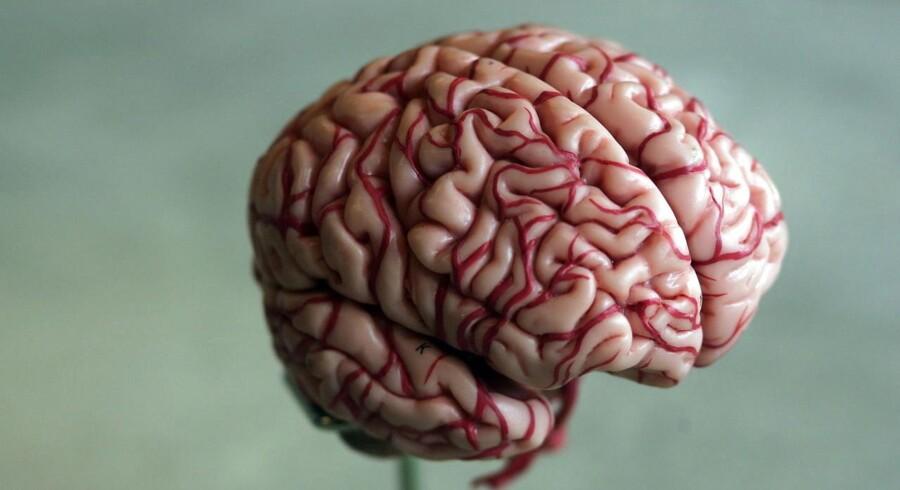 Model af hjerne.