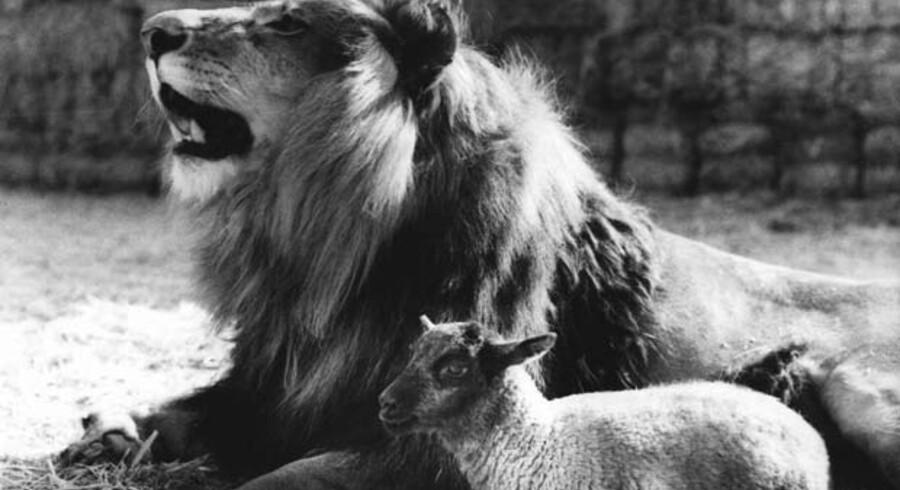 Profeten siger, at løven og lammet skal græsse side om side. Søren Krarups sammenligninger mellem løver og forskrækkede får er heldigvis ikke kun en fordanskning, men også en forvanskning!