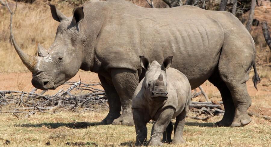 I 1950'erne fandtes der kun få hundrede eksemplarer af det hvide næsehorn. Men et målrettet naturbeskyttelsesprogram sørgede for, at bestanden i dag tæller op mod 21.000.