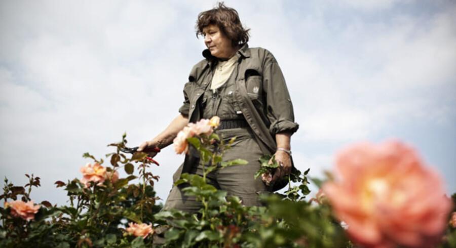 Rosenhavens gartner, Gitte Lykke Larsen, har brugt ekstra meget tid på at nippe og klippe roserne, så de tager sig flot ud til dagens kåring.