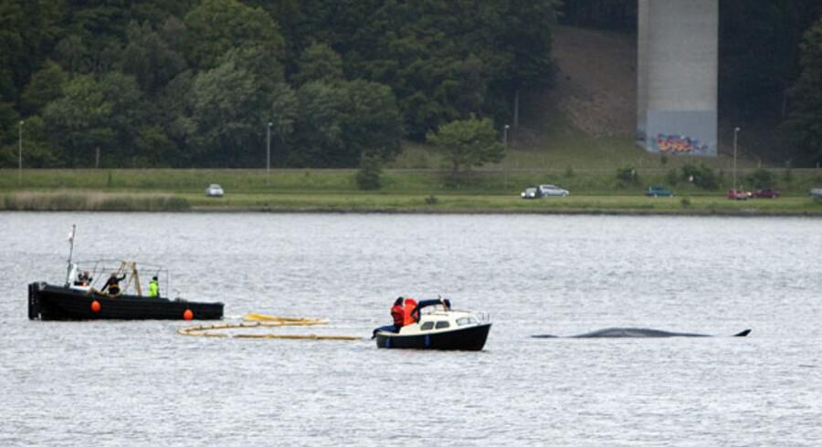 Da hvalen i Vejle Fjord fredag aften kom fri, valgte den desværre at svømme ind mod bunden af fjorden, og den gik igen på grund.