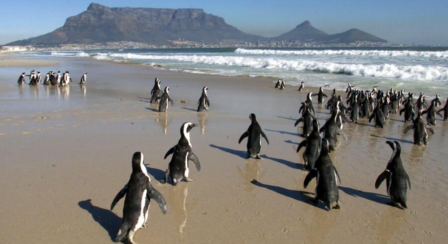 Pingvinerne i Sydafrika er tilsyneladende ikke vant til de kulegrader, der har ramt landet på det sidste. Ifølge det sydafrikanske telegrambureau Sapa er 500 pingvinunger døde af frostvejr.