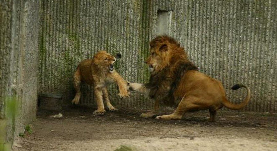 Det trak overskrifter verden over, da Københavns Zoos fornyelig aflivede en løvefamilie for at få plads til en ny hanløve. Især aflivningen af den overskydende, raske giraf 'Marius' nogen uger tidligere gjorde, at Københavns Zoo blev lagt for had.  Torsdag blev den ny løve-han introduceret til løvinderne i Københavns Zoo, og det gik - forventeligt - voldsomt for sig, da han tvinger dem til at underkaste sig, fortæller Københavns Zoos Lars Holse, der er områdeleder for rovdyr og elefanter.  På billedet bliver hunnerne først lukket ud i løveområdet. KLIK VIDERE OG SE BILLEDERNE