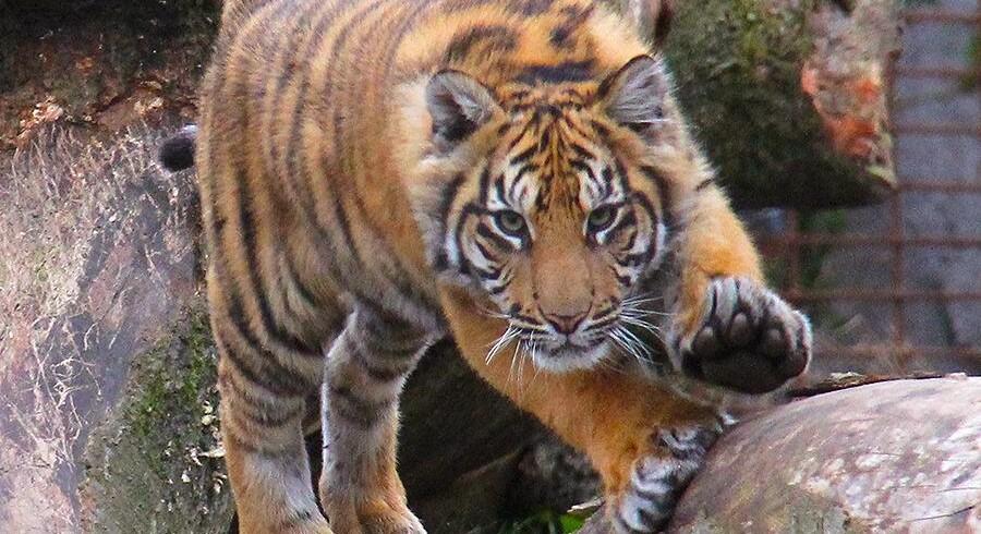 Aalborgs Zoos seks måneder gamle tiger er død.