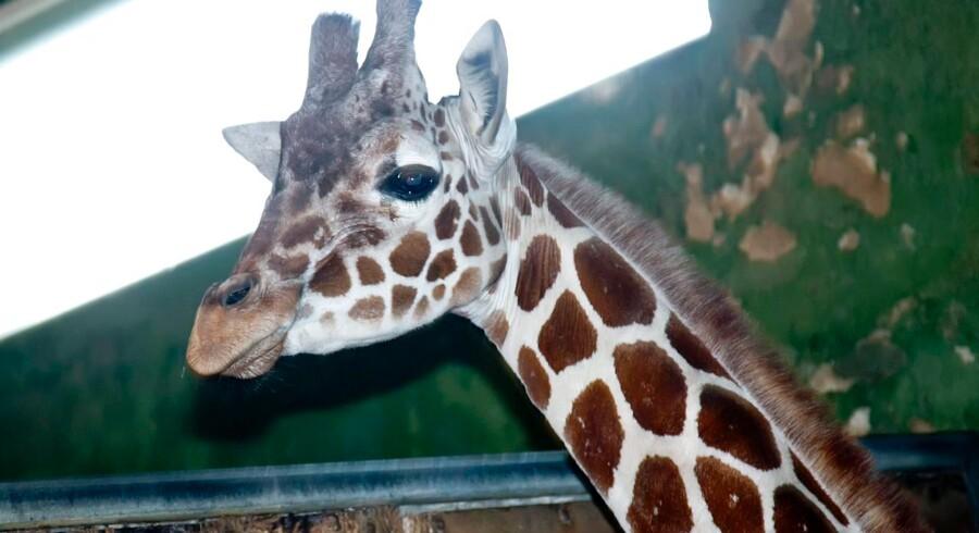 Der er ingen planer om at aflive den jyske giraf Marius. Dette er dog Elmer.