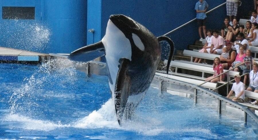 """Det er ikke første gang, at spækhuggeren Tillikum lever op til sit engelske racenavn """"killer whale""""."""