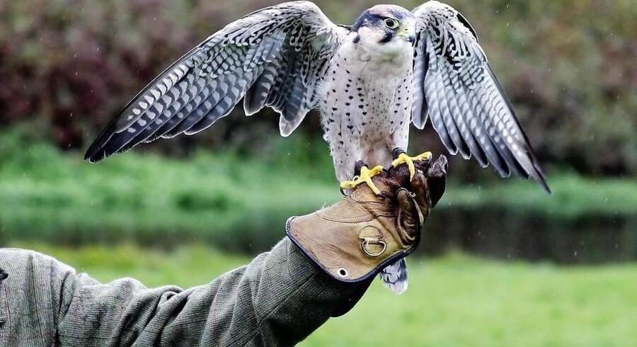 Jagt med rovfugle blev forbudt i Danmark i 1960erne. Efter nytår kan jagten meget vel være klar til atter at blive praktiseret herhjemme.