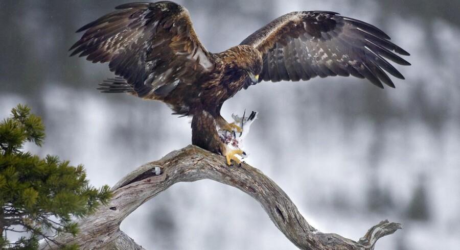 En af de groveste jagtovertrædelser gennem 25 år. Således karakteriserer Dansk Ornitologisk Forening skuddrabet på en af de sjældne kongeørne.