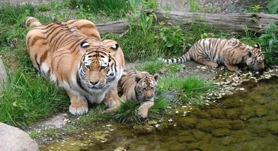 Arkivfoto: Tiger med unger i Zoo i Leipzig, Tyskland / AFP PHOTO / dpa / Sebastian Willnow / Germany OUT