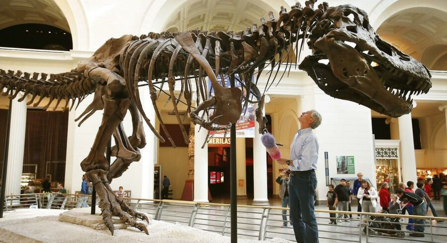 »Det ville være umuligt for den at løbe, fordi dens skelet simpelthen ikke var stærkt nok,« siger professor William Sellers til BBC om T. rex. Arkivfoto.