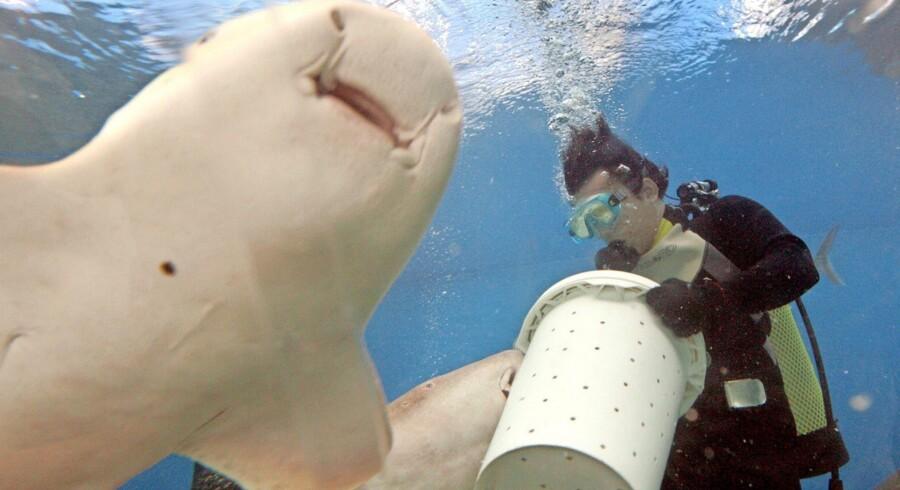 Fra skurk til helt: Nursehajen kan rette op på hajers skrantende image. Et dansk-britisk-amerikansk forskningsprojekt er kommet nye skridt på vejen mod at omdanne antistoffer fra nursehajen til medicin mod hjernelidelser. Arkivfoto: Rungroj Yongrit