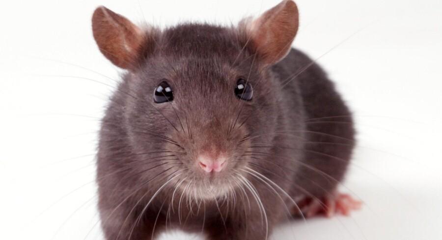 Rotter er en stigende plage ude i kommunerne, og det har ført til stigende gebyrer til bekæmpelse af skadedyrene. Free/Sergey Goruppa