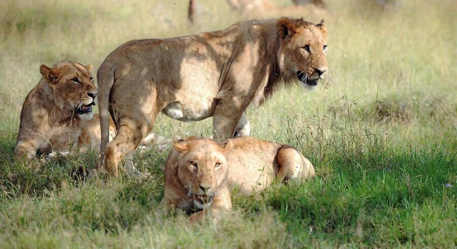Tidligt mandag morgen vadede formodede krybskyttere lige ind i en løveflok i Sydafrika. Det fik fatale konsekvenser. TONY KARUMBA / AFP